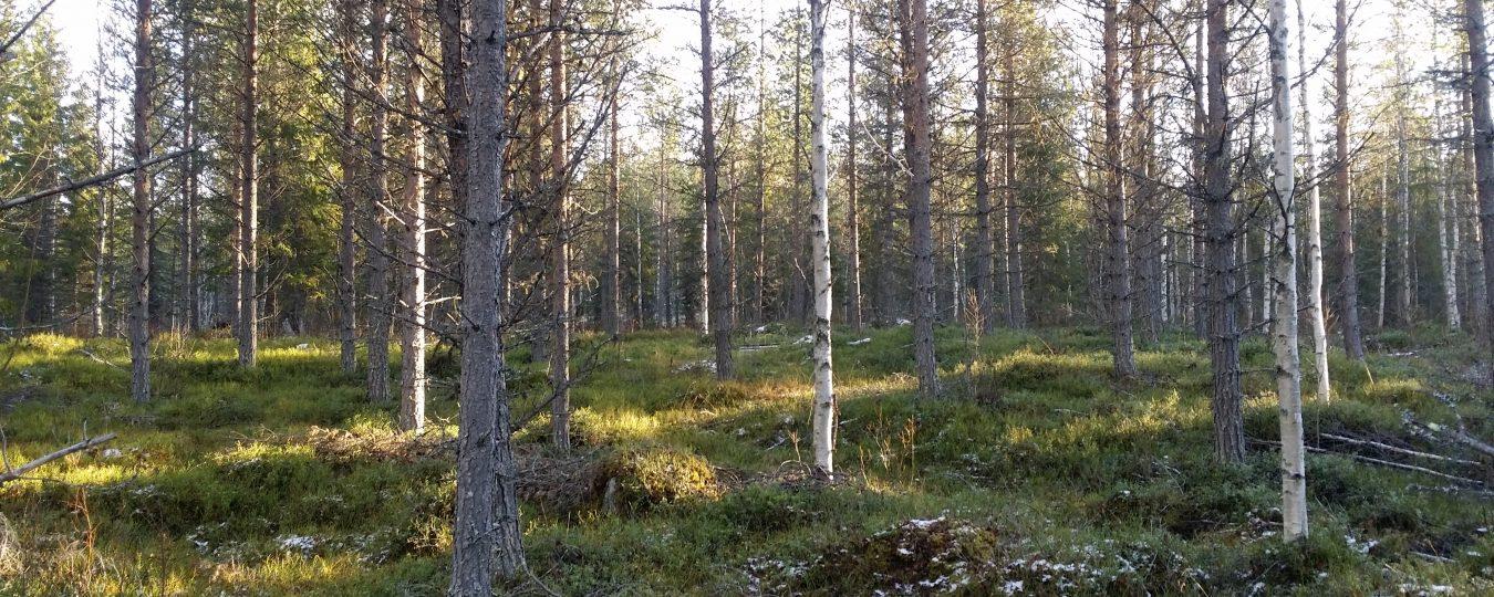Skogen slår allt