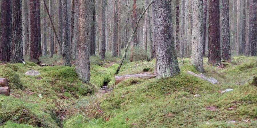 Björn i skogspodden